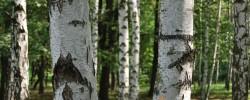 Den Wald vor lauter Bäumen nicht sehen - © sebastiano, morguefile.com